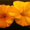 Kathi Wilson Yellow Hibicus 14x18 $130